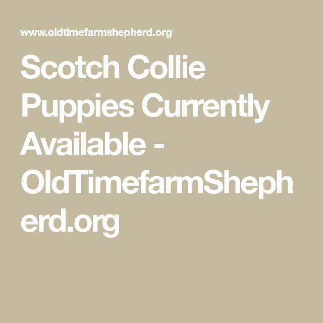 Scotch Collie Puppies Currently Available - OldTimefarmShepherd.org