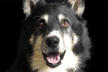 Tigger. Shepherd/Retriever, Labrador Mix. 7 yo. around 60 lb  up for adoption!