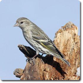 Pine Siskin. SiskinPineBackyardWild BirdsPostsPine ...