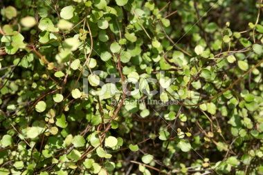 Pittosporum Obcordatum (Kohuhu) Flora Background Royalty Free Stock Photo