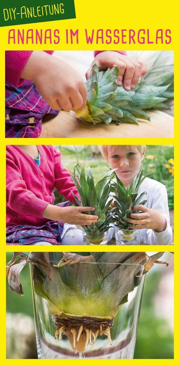die besten 25 ananas selber ziehen ideen auf pinterest ananas pflanzen einfache pflanzen zum. Black Bedroom Furniture Sets. Home Design Ideas