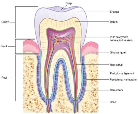Best 25 Dental Anatomy Ideas On Pinterest Rda Dental