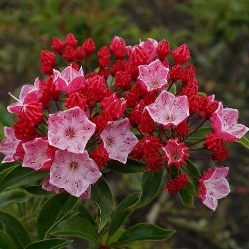 Mountain Laurel Bush Seeds (Kalmia latifolia) 50+Seeds