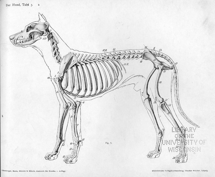 dog anatomy lateral skeleton view animal anatomy references for artist - Saunders Veterinary Anatomy Coloring Book
