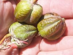 yucca seedpod propagation: Tips for Planting Yucca Seeds