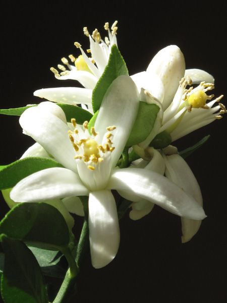 Orange Blossoms are very important in Spanish weddings. I don't know if they are really that available, but I would like to integrate them any way possible