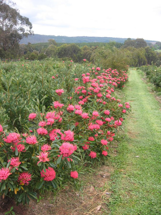 Waratah Telopea 'Essie's Gift'• Spectacular low growing displays of bright colour. • Make a statement with an unusual low native hedge • Medium to large containers • Enjoy indoors in cut flower arrangements