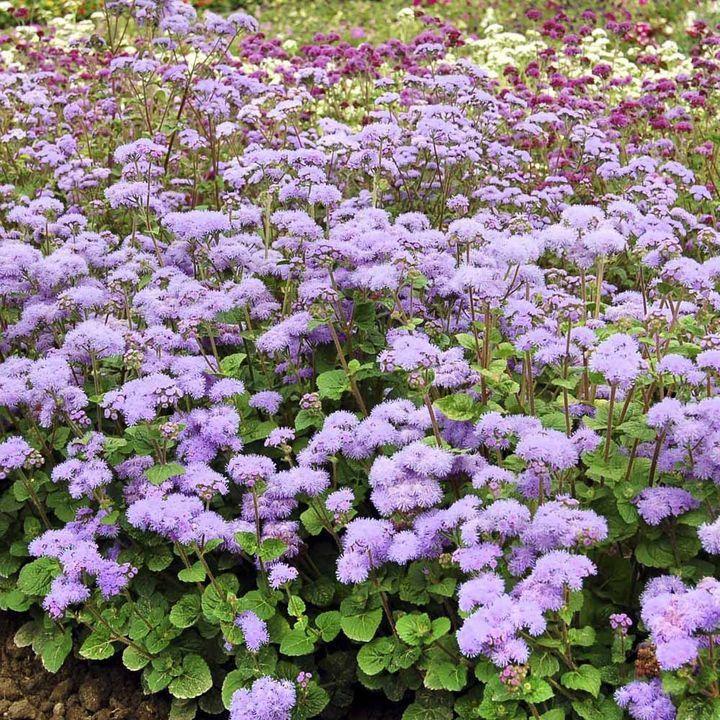 """Snittblommor som sista veckornaSnittblommor som varar i upp till 3 ½ veckor i en vas! Tall, robusta, förgrenade plantor toppad med stora blommor. Deras höjd gör dem till en utmärkt gräns anläggning, och ett utmärkt komplement till blandade buketter också. Höjd 75cm (2 ½ """"). HHA - Half-hardy årliga.Genomsnittlig Växande Längd: 71-80cm [28,00kr]"""