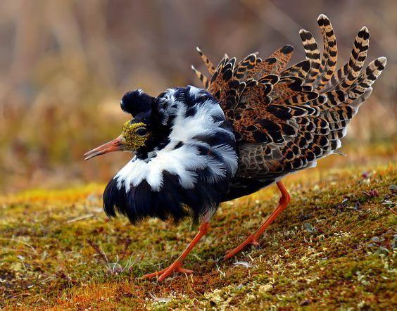 """tatunootosigo:  """"Ruff ( L: Philomachus pugnax / N: Brushane ), photo taken in the Varanger Peninsula - Northern Norway.  """""""