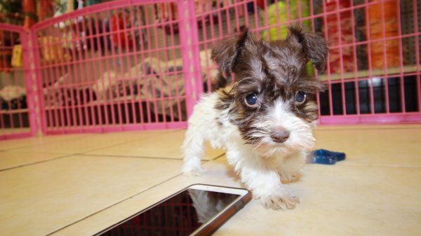 Teacup Chocolate And White Mini Schnauzer Puppies For Sale In Ga At Puppies For Sale Local Breeders Puppies For Sale Schnauzer Miniature Schnauzer Black