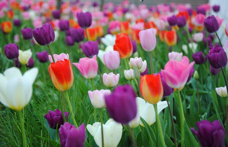 2500 Tulpen auf 100m²