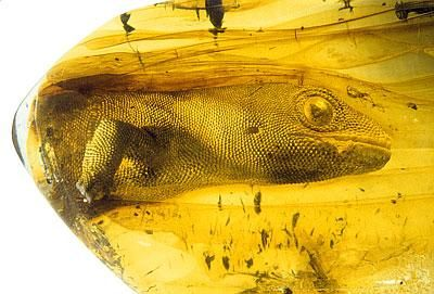 The ancient gekko Yantarogekko balticus, c 54 million years old, preserved in Baltic amber.