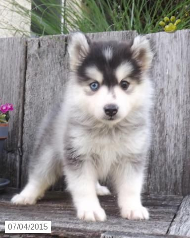 Pomsky Puppy for Sale in Ohio #BuckeyePuppies