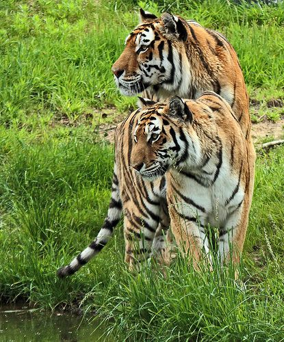 siberische tijger Beekse bergen  | Flickr!