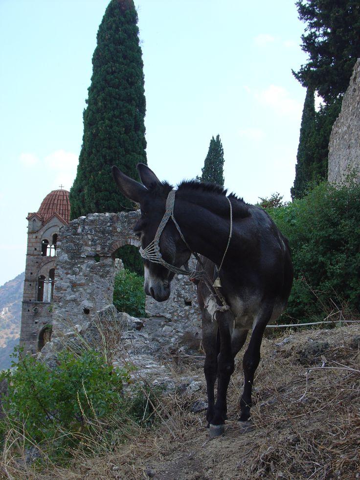 Grecja dzika: osioł w średniowiecznym mieście Mistra