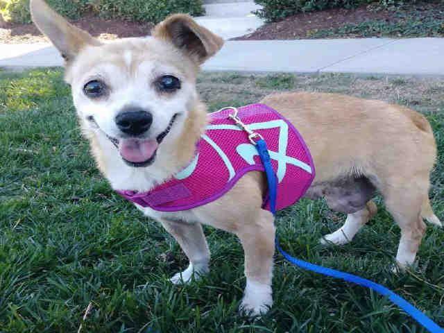 Chihuahua Dog For Adoption In Alameda Ca Adn 724531 On Puppyfinder Com Gender Female Age Senior Animal Shelter Humane Society Find Pets