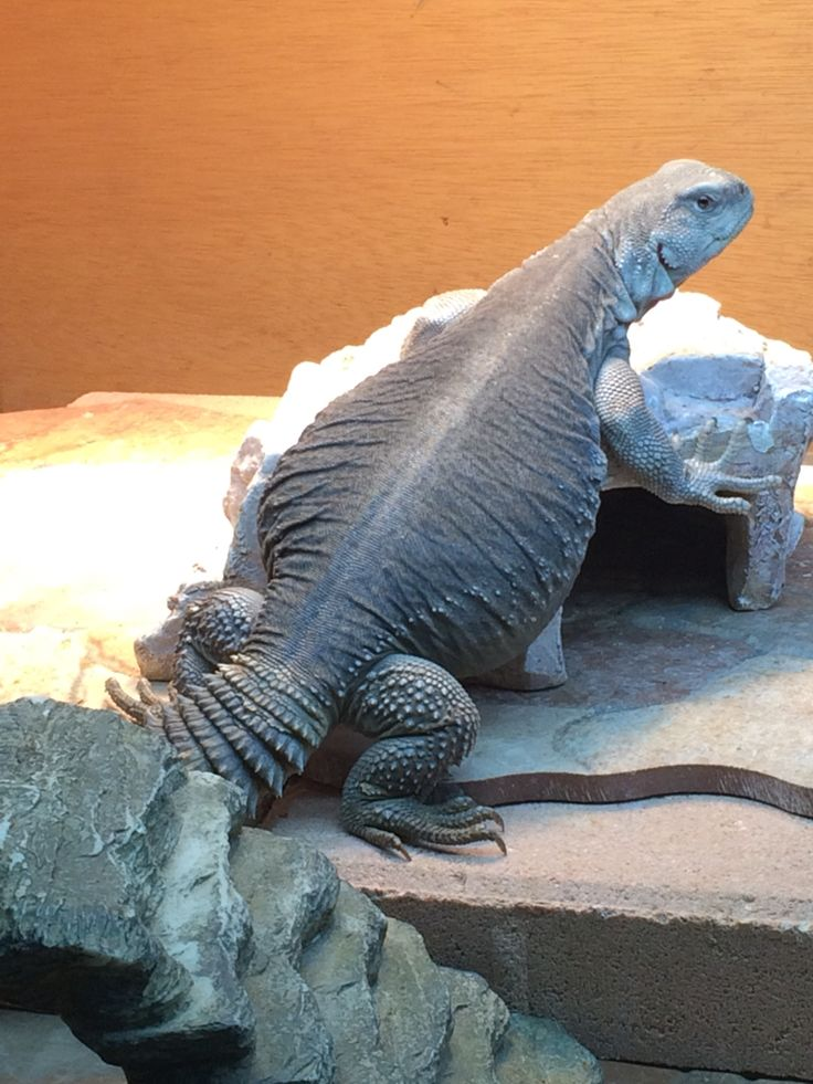 Egyptian uromastyx 13 months old 15 inches 421 grams | My ...