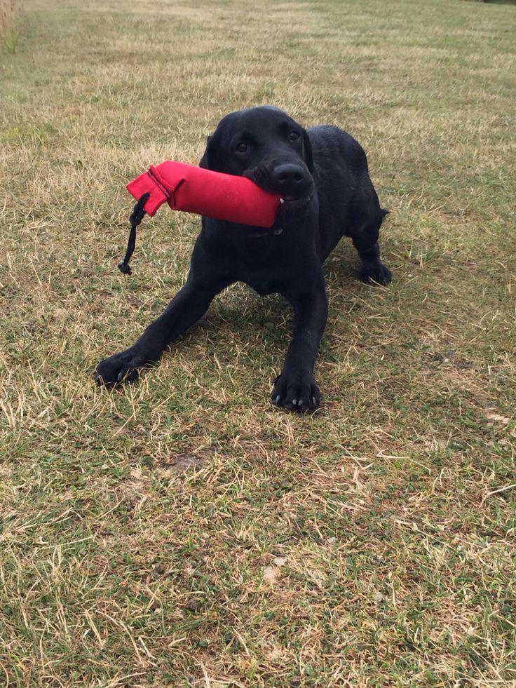 Playful pup! Alfie the black Labrador springer cross loves his toys.