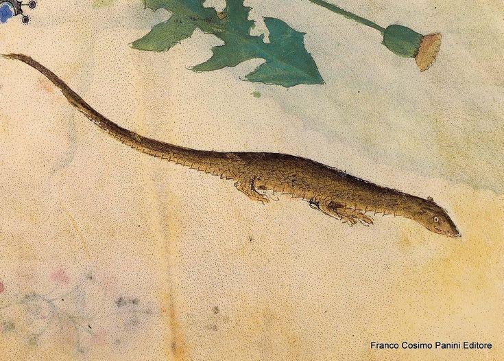 """""""La lucertola è un animale noto. Il suo sterco giova all'albugine degli occhi, al prurito e acuisce la vista. La cenere della lucertola verde bruciata e aspersa sull'alopecia con buona quantità di miele crudo immediatamente fa nascere i capelli"""". http://www.foliamagazine.it/wp-content/uploads/2014/01/Lacerte-137r-or.jpg"""