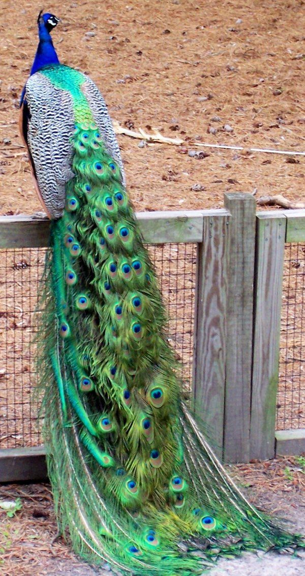 The tail is so amazing - Peacock - by yellerdawgs on DeviantArt