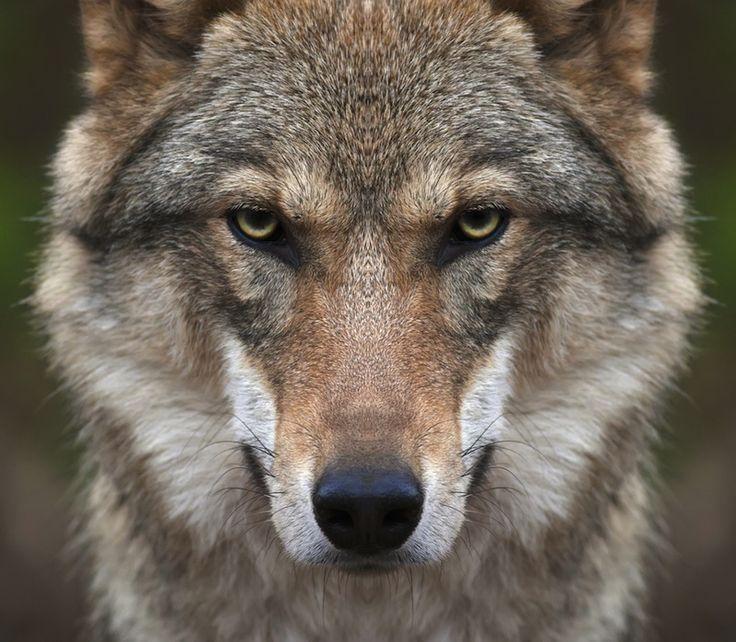 Dogs' Closest Wolf Ancestors Went Extinct, Study Suggests ...