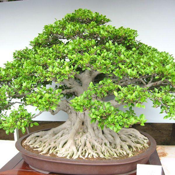 """Résultat de recherche d'images pour """"bonsai ficus"""""""