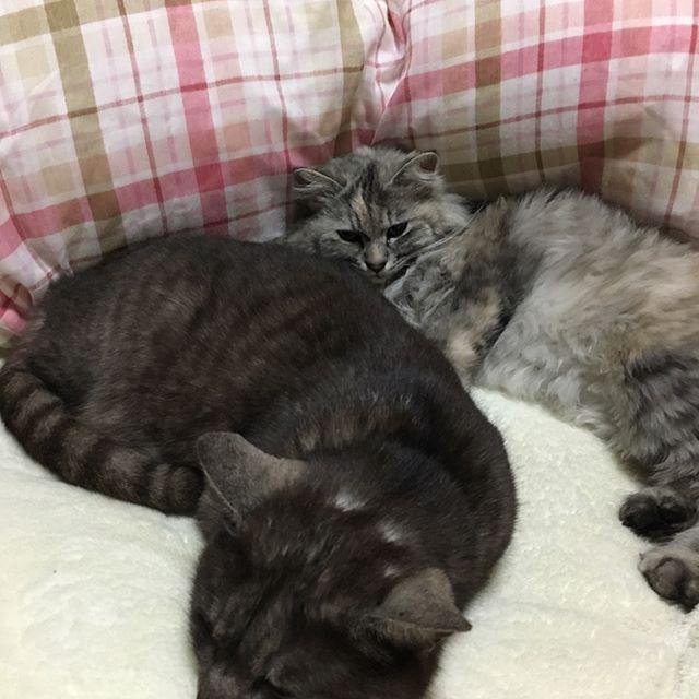 無理やり寝かせた図。笑 さぁ〜コナン終わったら寝よ♡ #愛猫 #ブラックスモーク  #長毛猫 #もふもふ #きぃくぅ #名探偵コナン #迷宮の十字路  #コナン映画で #1番好き #でも世紀末の魔術師も #同じくらい好き #から紅の恋歌  #超楽しみ♡ #平次と和葉 #新一と蘭 #より好き