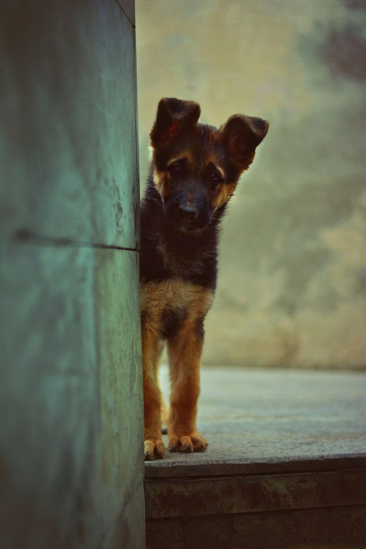Adorable German Shep