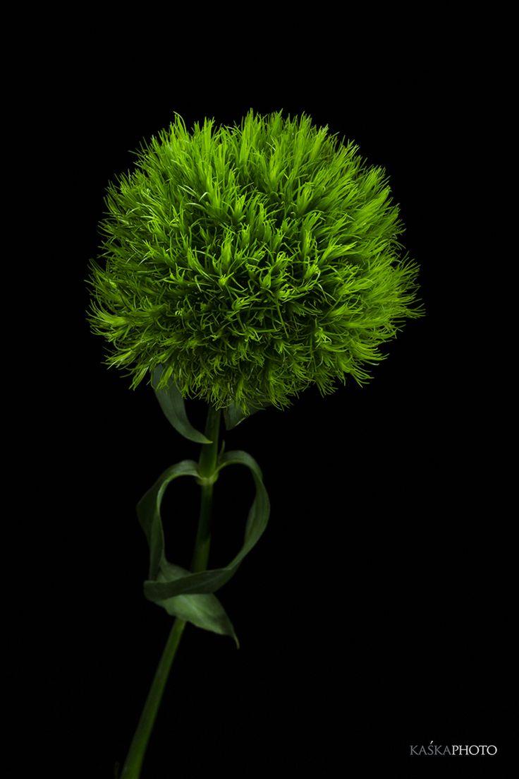 Kaska Photo » Studio flowers #flowers #Sikora #KaśkaSikora #goździk #GreenFlowers #Green #Dianthus #studiophotos #vision #macro #flowers #photography #style #interiordesign #designer #homedecor #homedesigner #artcollector #decoration #decor #lifestyle  #posters #wnętrza #KatarzynaSikora #KaśkaPhoto