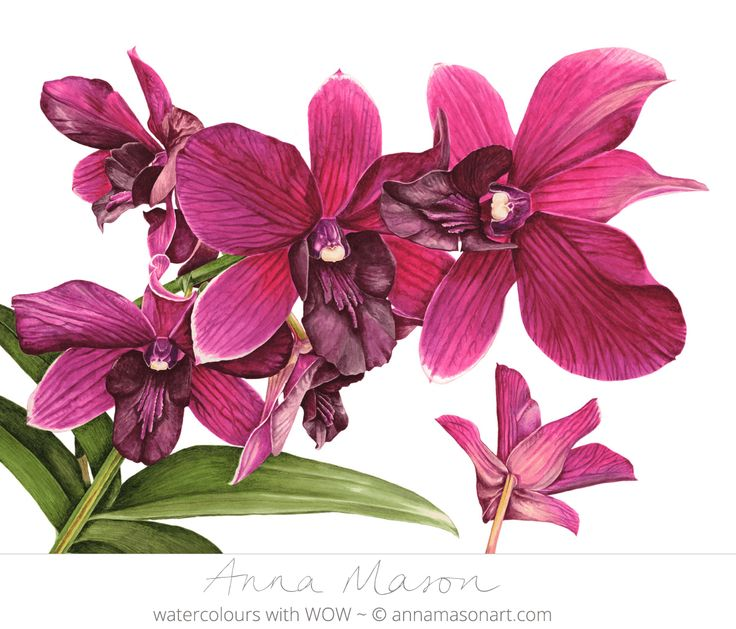 "Cooktown Orchid © 2008 ~ annamasonart.com ~ 61 x 46 cm (24"" x 18"")"