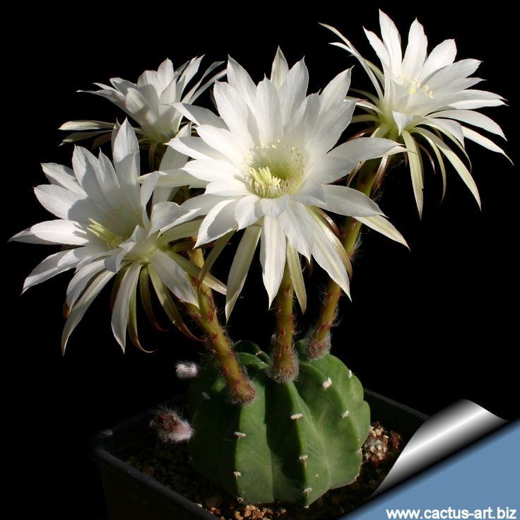 Echinopsis Subdenudata E Subdenudatus In The Cactaceae