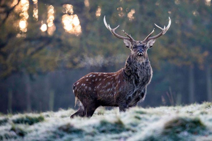 Un ciervo en un parque cerca de Ripon, en Inglaterra (LINDSEY PARNABY/AFP/Getty Images)