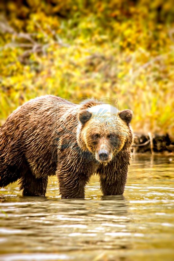 Alaska Grizzly Bear   Crystallyzed Photography  www.crystallyzed.com
