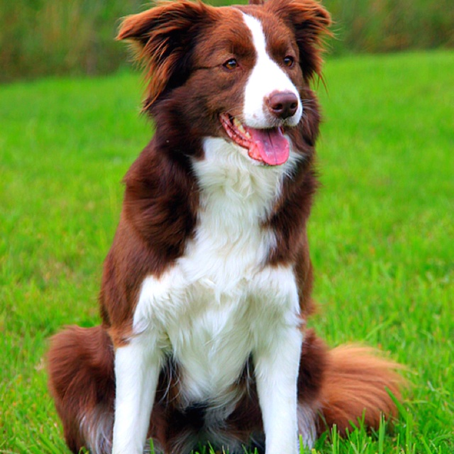 I Love My Border Collie! Puddin Is A Red Border Collie And The Sweetest Dog