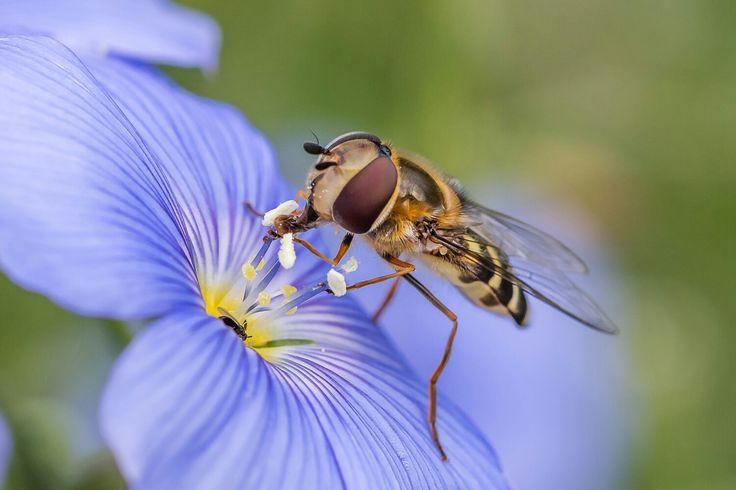 Schwebfliege bei der Arbeit.  Das Insekt benutzt die Vorderbeine als Werkzeug.
