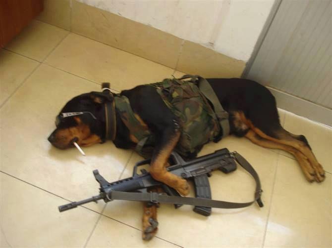Guard Dog Rottweiler Rottweiler Pinterest Home