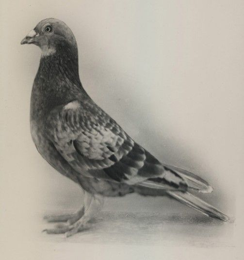 Commando, a red chequer cock pigeon was used in service with the British armed forces during the Second World War to carry crucial intelligence. The pigeon carried out more than ninety missions during the war, and received the Dickin Medal (the animal equivalent of the Victoria Cross) for three particularly notable missions in 1942.