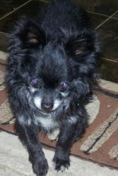 Quinn is an #adoptable Chihuahua Dog in #Sabina, #OHIO. Quinn is a super handsome senior long haired chi/pom in search of his forever home. He gets along great with other dogs, he is very quiet and loves...