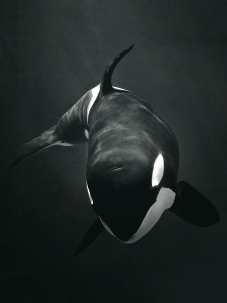 Orca Obsession