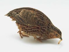 Keeping Quail – Getting Started   The Natural Poultry Farming Guide