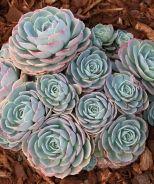 Blue Rose Echeveria (Echeveria imbricata) -