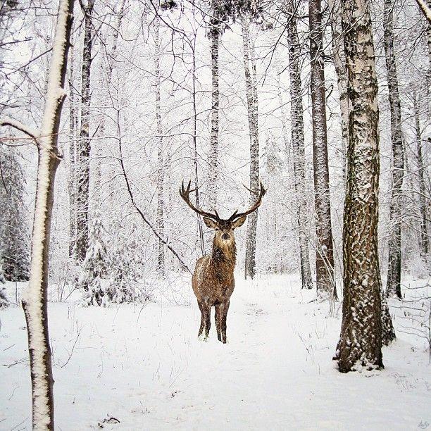 ♥ Deer in the snow ♥