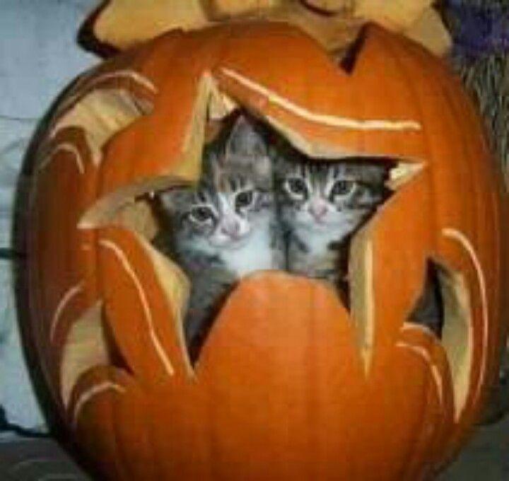 pumpkin cats
