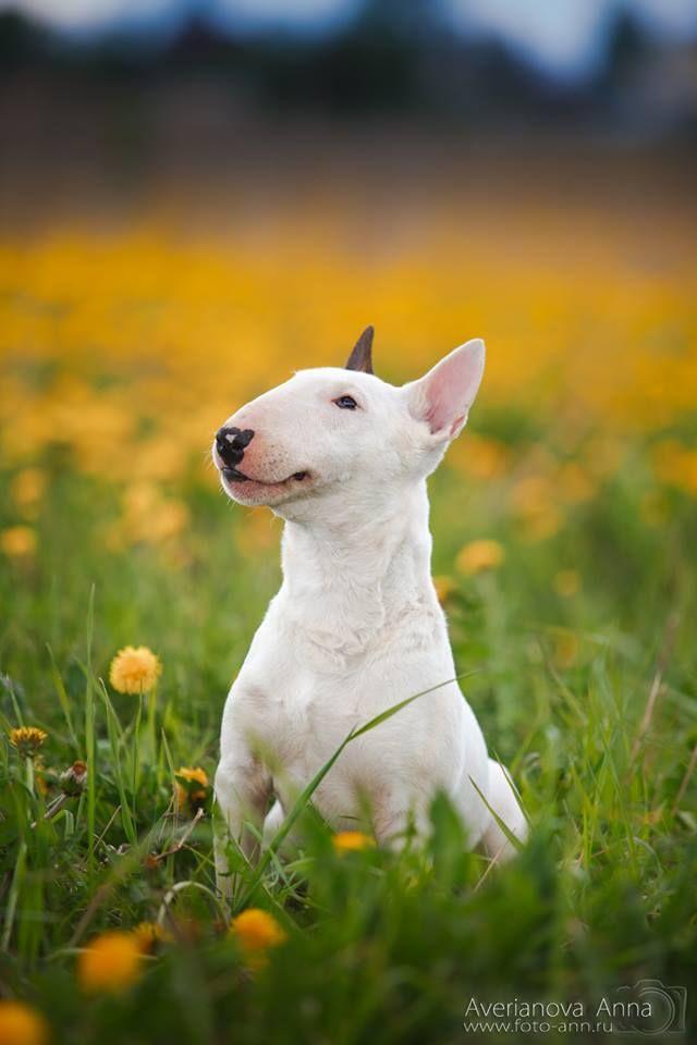 Bull Terrier. By Averianova Anna.