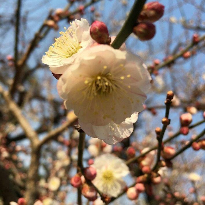 梅の花と花嫁さん_4516.jpg