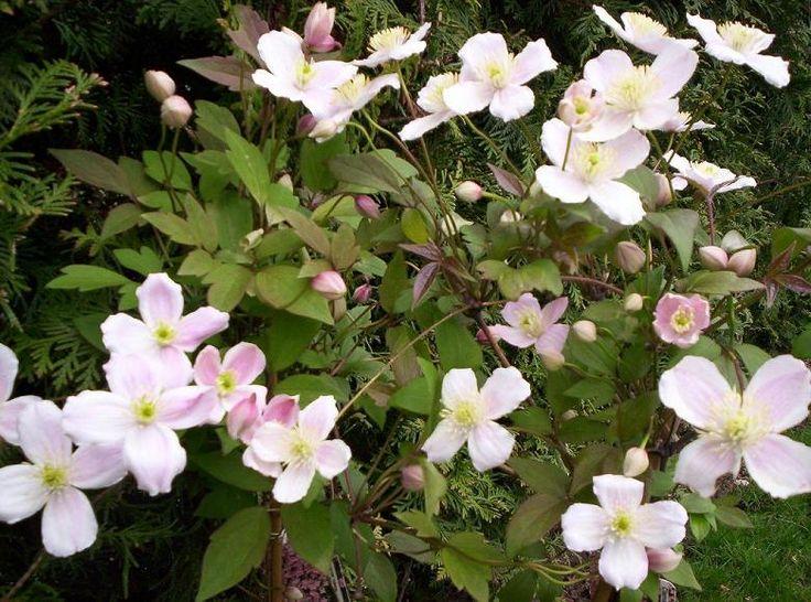 CLEMATIS montana Rubens Superba : floraison de printemps.