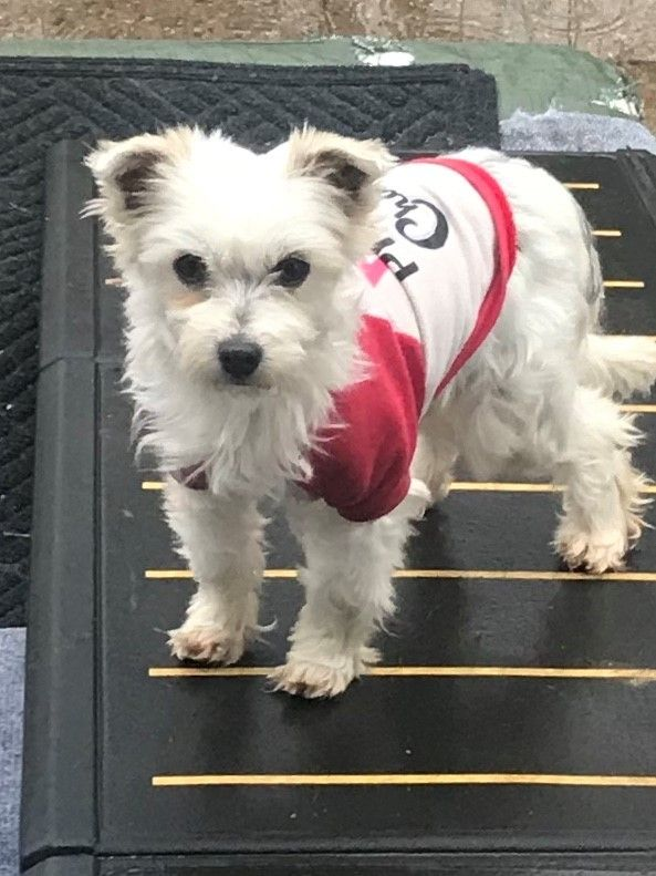 Adopt Lindy On Pet Search Pets Havanese Dogs