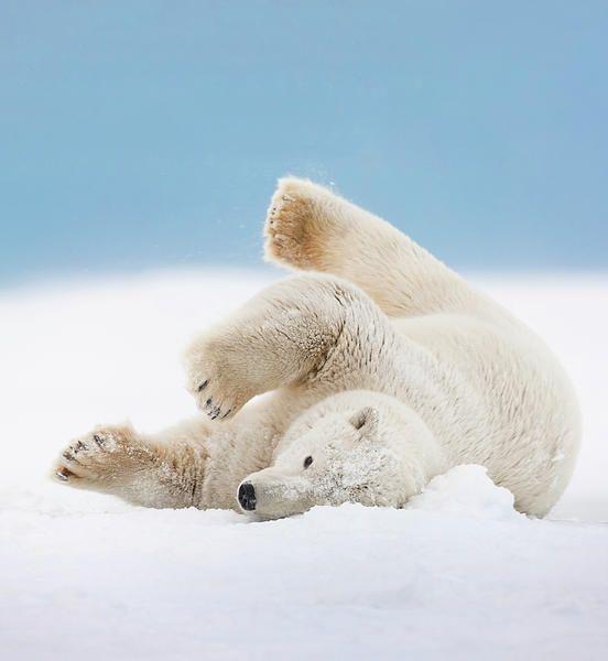 Snow Bath by © Patrick Endres Polar bear rolls in the snow on an island in the Beaufort Sea on Alaska's arctic coast.