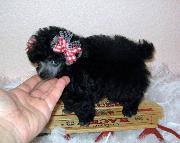 Teacup Poodles | Teacup Poodle