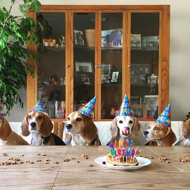 Beagles are not known for their restraint around food, nor do they sit still for poses and dressing up.  So this shot is just a pipe dream or creative editing